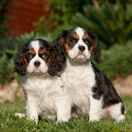 PUP 10 CB0021 01 © Kimball Stock Two Cavalier King Charles Spaniel Puppies Sitting On Grass