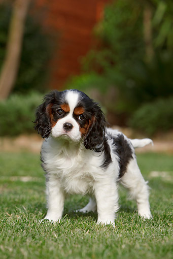 PUP 10 CB0022 01 © Kimball Stock Cavalier King Charles Spaniel Puppy Standing On Grass
