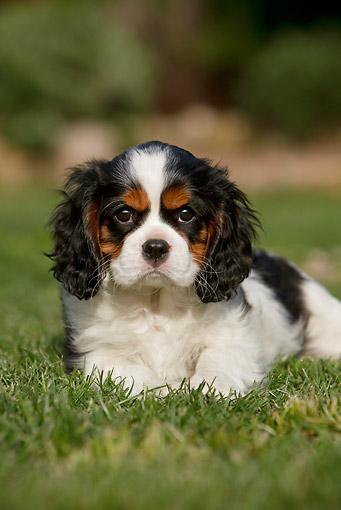 PUP 10 CB0023 01 © Kimball Stock Portrait Of Cavalier King Charles Spaniel Puppy Laying On Grass