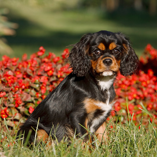 PUP 10 CB0024 01 © Kimball Stock Cavalier King Charles Spaniel Puppy Sitting On Grass By Red Flowers