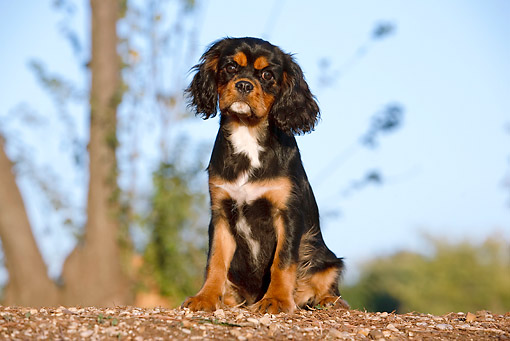 PUP 10 CB0025 01 © Kimball Stock Cavalier King Charles Spaniel Puppy Sitting On Dirt