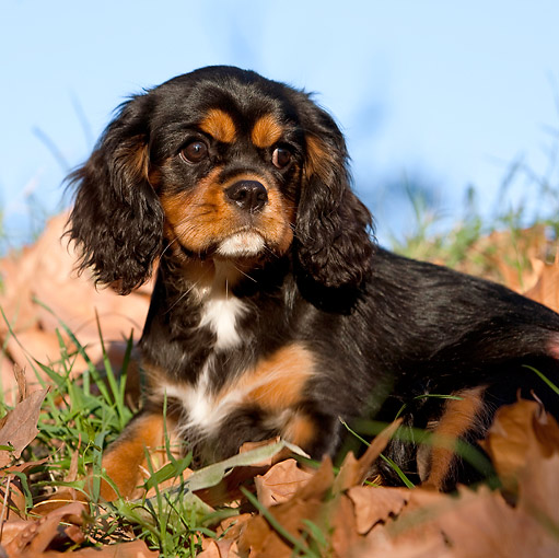 PUP 10 CB0026 01 © Kimball Stock Cavalier King Charles Spaniel Puppy Laying On Grass And Leaves