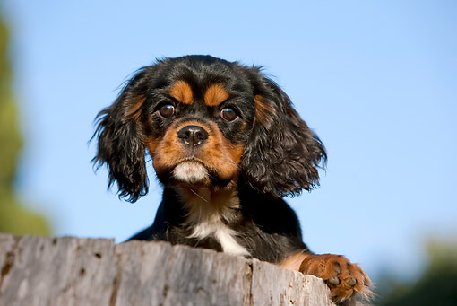 PUP 10 CB0027 01 © Kimball Stock Cavalier King Charles Spaniel Puppy Leaning On Stump