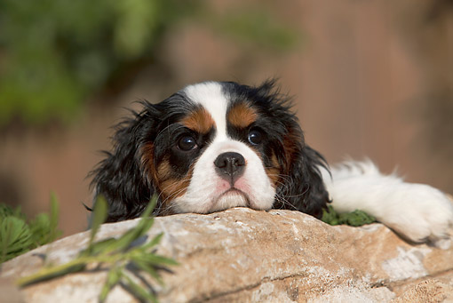 PUP 10 CB0028 01 © Kimball Stock Cavalier King Charles Spaniel Puppy Laying On Rock
