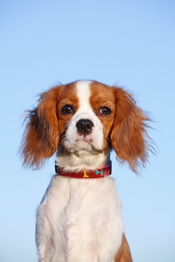 PUP 10 CB0029 01 © Kimball Stock Portrait Of Cavalier King Charles Spaniel Puppy Against Blue Sky