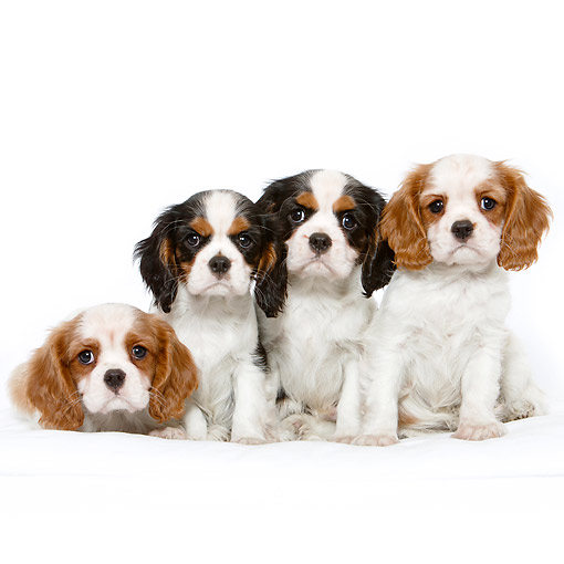 PUP 10 CB0030 01 © Kimball Stock Cavalier King Charles Spaniel Puppies Sitting In Studio