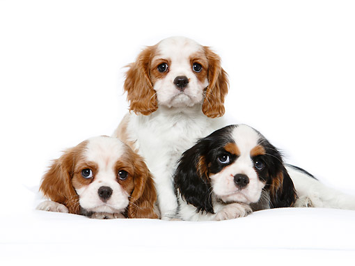 PUP 10 CB0031 01 © Kimball Stock Cavalier King Charles Spaniel Puppies Sitting In Studio