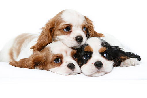 PUP 10 CB0032 01 © Kimball Stock Cavalier King Charles Spaniel Puppies Sitting In Studio