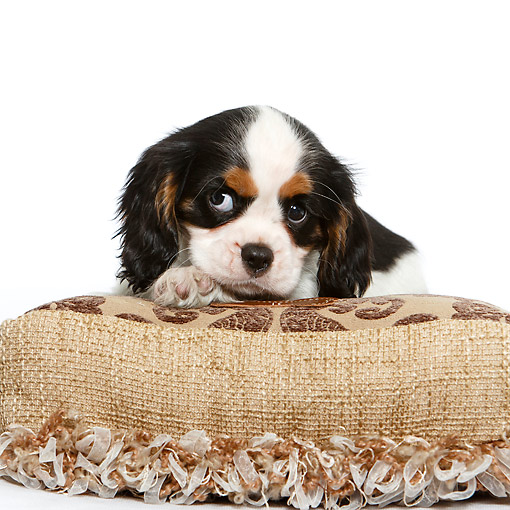 PUP 10 CB0033 01 © Kimball Stock Cavalier King Charles Spaniel Puppi Sitting On Pillow In Studio