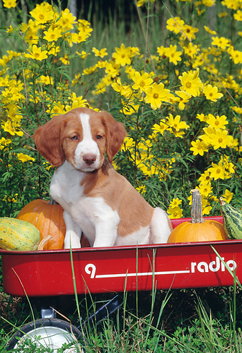 PUP 10 CE0042 01 © Kimball Stock Brittany Spaniel Puppy Sitting In Red Wagon With Pumpkins
