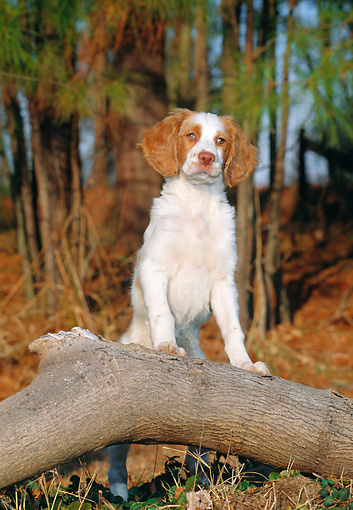 PUP 10 CE0043 01 © Kimball Stock Brittany Spaniel Puppy Sitting Leaning On Log