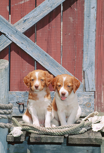 PUP 10 CE0044 01 © Kimball Stock Two Brittany Spaniel Puppies Sitting On Fishing Warf By Shells And Rope