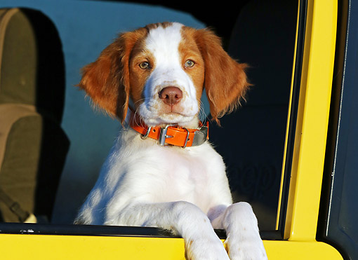 PUP 10 DB0001 01 © Kimball Stock Brittany Puppy Sitting In Yellow Jeep