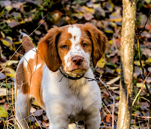 PUP 10 DB0002 01 © Kimball Stock Brittany Puppy Standing In The Woods