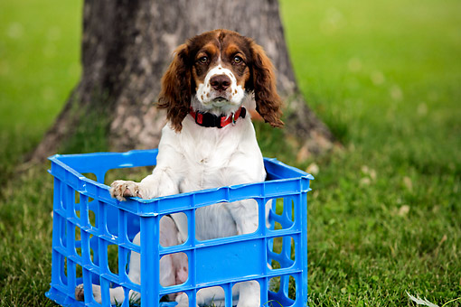 PUP 10 DB0003 01 © Kimball Stock Springer Spaniel Puppy Sitting In Box By Trees