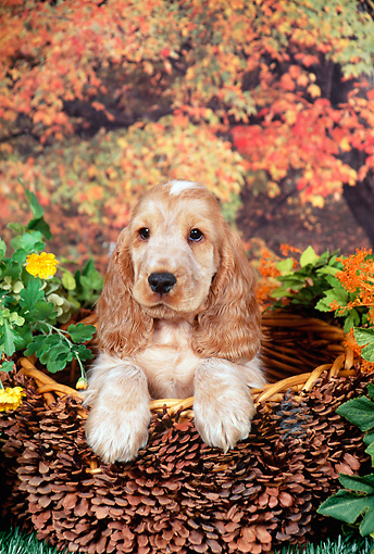 PUP 10 FA0004 01 © Kimball Stock English Cocker Spaniel Puppy Sitting In Basket In Garden