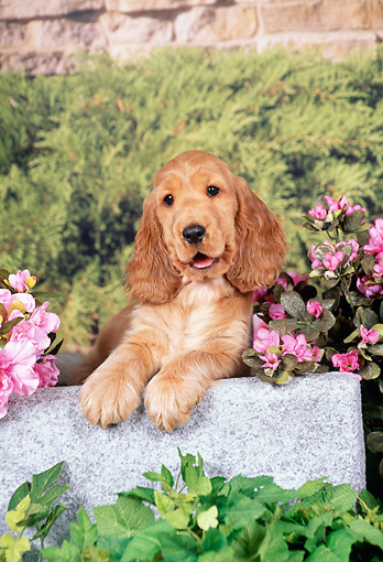 PUP 10 FA0005 01 © Kimball Stock English Cocker Spaniel Puppy Laying On Cement Block In Garden