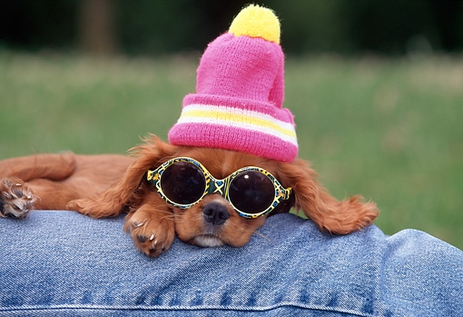 PUP 10 GL0001 01 © Kimball Stock Cavalier King Charles Spaniel Puppy Laying On Owner's Leg Wearing Hat And Sunglasses