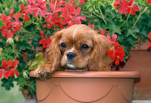 PUP 10 GL0002 01 © Kimball Stock Cavalier King Charles Spaniel Puppy Sitting In Flower Pot By Red Flowers