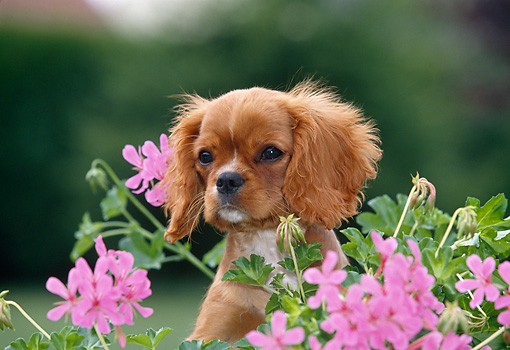 PUP 10 GL0003 01 © Kimball Stock Cavalier King Charles Spaniel Puppy Sitting In Garden With Pink Flowers