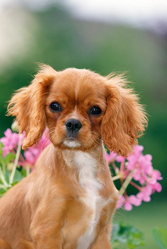 PUP 10 GL0005 01 © Kimball Stock Cavalier King Charles Spaniel Puppy Sitting By Pink Flowers