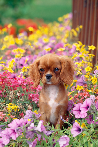PUP 10 GL0006 01 © Kimball Stock Cavalier King Charles Spaniel Puppy Sitting In Garden