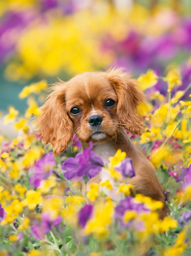 PUP 10 GL0007 01 © Kimball Stock Cavalier King Charles Spaniel Puppy Sitting In Flowers