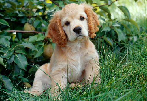 PUP 10 GR0040 01 © Kimball Stock Cocker Spaniel Puppy Sitting On Grass By Pear Tree