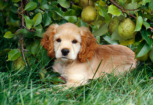PUP 10 GR0041 01 © Kimball Stock Cocker Spaniel Puppy Laying On Grass By Pear Tree