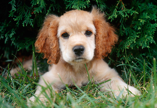 PUP 10 GR0042 01 © Kimball Stock Cocker Spaniel Puppy Laying On Grass Under Shrub
