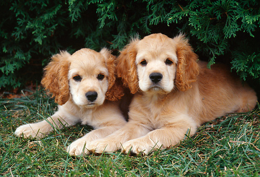 PUP 10 GR0043 01 © Kimball Stock Two Cocker Spaniel Puppies Laying On Grass Under Shrub