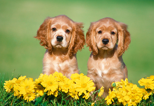 PUP 10 GR0049 01 © Kimball Stock Cocker Spaniel Puppies Sitting On Grass With Yellow Daisies