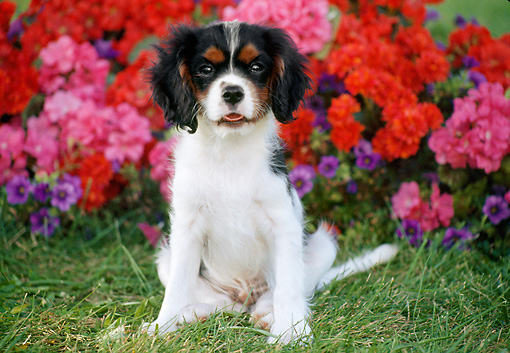 PUP 10 GR0054 01 © Kimball Stock Cavalier King Charles Spaniel Puppy Sitting On Grass In Garden