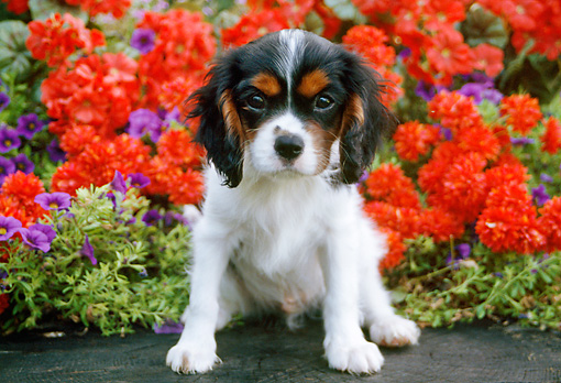 PUP 10 GR0055 01 © Kimball Stock Cavalier King Charles Spaniel Puppy Sitting In Garden