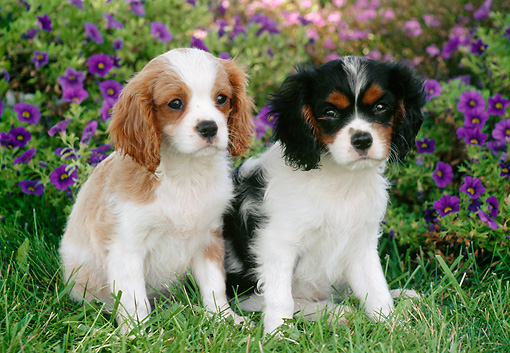 PUP 10 GR0057 01 © Kimball Stock Two Cavalier King Charles Spaniel Puppies Sitting On Grass In Garden
