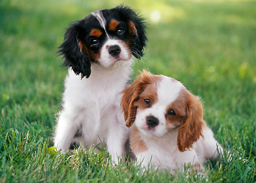 PUP 10 GR0058 01 © Kimball Stock Two Cavalier King Charles Spaniel Puppies On Lawn