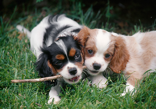 PUP 10 GR0059 01 © Kimball Stock Two Cavalier King Charles Spaniel Puppies Playing With Stick On Lawn
