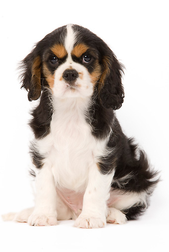 PUP 10 JE0001 01 © Kimball Stock Cavalier King Charles Spaniel Puppy Sitting Seamless