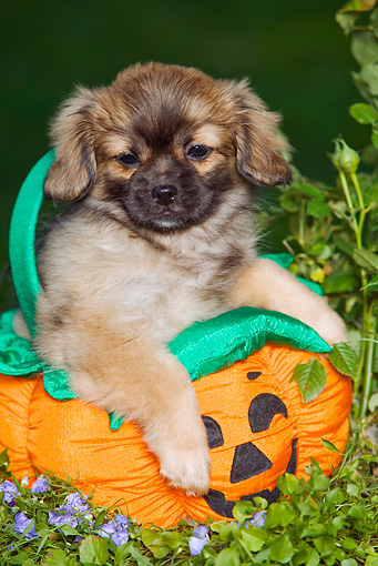 PUP 10 JE0010 01 © Kimball Stock Tibetan Spaniel Puppy Sitting In Jack O'Lantern Toy In Garden