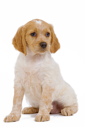 PUP 10 JE0011 01 © Kimball Stock Brittany Spaniel Puppy Sitting On White Seamless