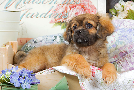 PUP 10 JE0017 01 © Kimball Stock Tibetan Spaniel Puppy Laying On Blanket In Wooden Box With Purple Flowers In Watering Can