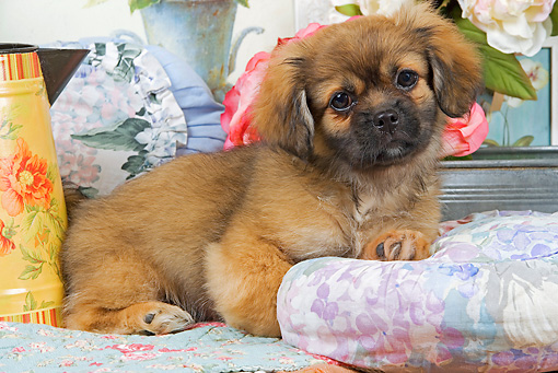 PUP 10 JE0018 01 © Kimball Stock Tibetan Spaniel Puppy Laying On Blanket With Cushions And White And Pink Roses