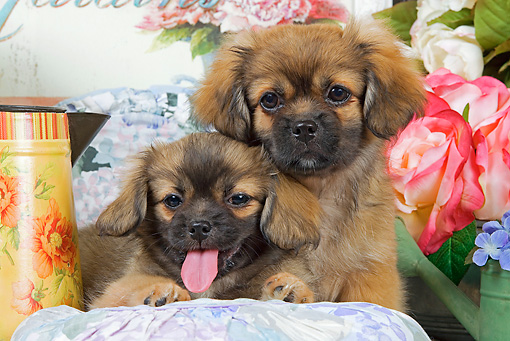 PUP 10 JE0019 01 © Kimball Stock Tibetan Spaniel Puppies Laying On Blanket With Cushions And White And Pink Roses
