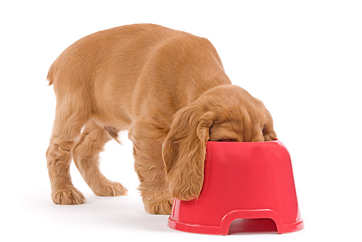 PUP 10 JE0020 01 © Kimball Stock English Cocker Spaniel Puppy Eating From Red Bowl On White Seamless