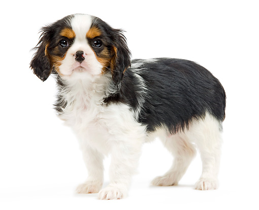 PUP 10 JE0021 01 © Kimball Stock Cavalier King Charles Spaniel Puppy Standing On White Seamless