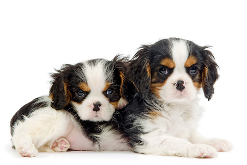PUP 10 JE0024 01 © Kimball Stock Cavalier King Charles Spaniel Puppies Laying On White Seamless