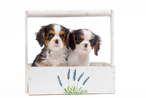 PUP 10 JE0025 01 © Kimball Stock Cavalier King Charles Spaniel Puppies Sitting In Planter Box On White Seamless