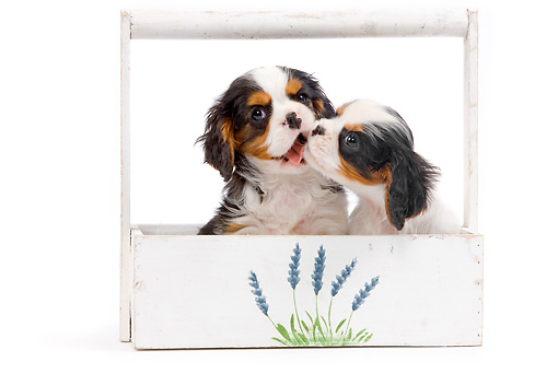 PUP 10 JE0026 01 © Kimball Stock Cavalier King Charles Spaniel Puppies Sitting In Planter Box On White Seamless Kissing