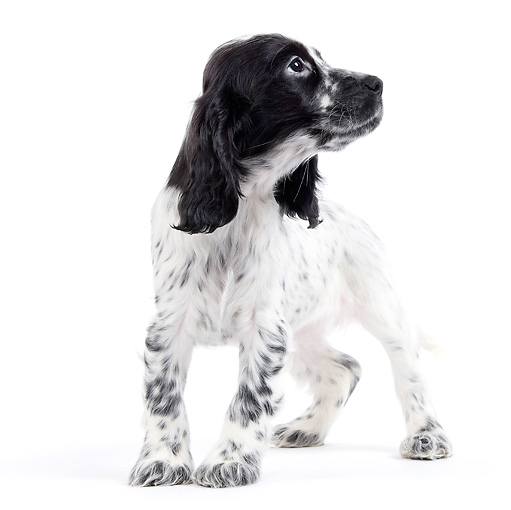 PUP 10 JE0027 01 © Kimball Stock English Cocker Spaniel Puppy Standing On White Seamless