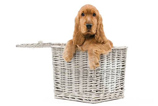 PUP 10 JE0028 01 © Kimball Stock Cocker Spaniel Puppy Sitting In Wicker Basket On White Seamless